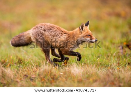 Red fox running for prey. Fox hunts small mammals and she is moving in the hunt.