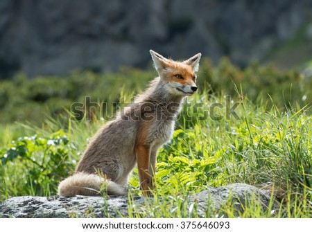 Red fox sitting in grass, curious,  Slovakia, Europe