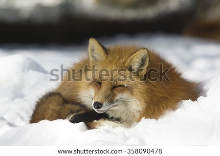 Red fox sleeping in the snow - stock photo