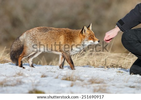 Red fox standing close too a human hand