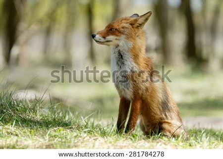 Red fox standing in nature  - stock photo