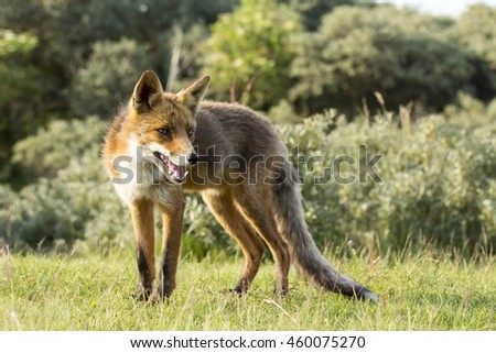 Red Fox Standing on the Grass