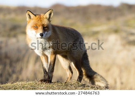 Red Fox Standing on the Grass in the Sunlight