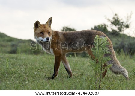 Red Fox Standing on the Grass with A Sky Background