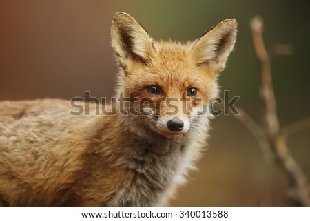 red fox very in detail
