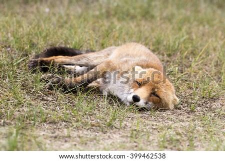 Red Fox Vixen Lying on the Grass in the Dunes