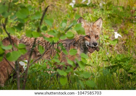 Red Fox Vixen (Vulpes vulpes) Looks Out With Piece of Meat - captive animal