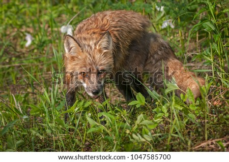 Red Fox Vixen (Vulpes vulpes) Stares Out - captive animal