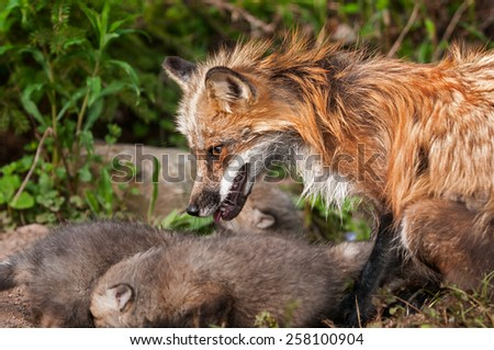 Red Fox Vixen (Vulpes vulpes) Watches Over Her Kits - captive animals - stock photo
