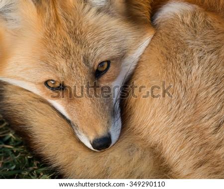 Red fox (Vulpes vulpes) closeup portrait - stock photo