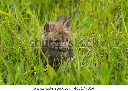 Red Fox (Vulpes vulpes) Kits Stands in Grass - captive animal