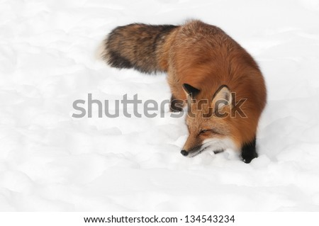 Red Fox (Vulpes vulpes) Looks Left in Snow - captive animal