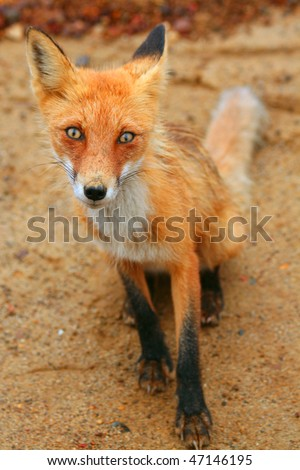 red fox (Vulpes vulpes) sit in the field on the pebbles in summer