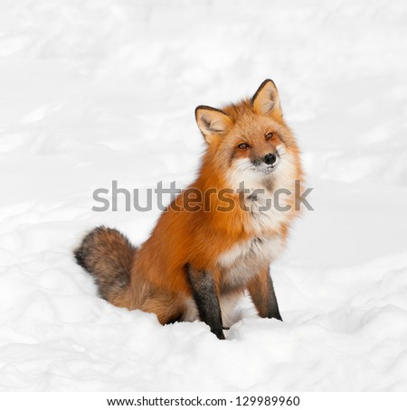 Red Fox (Vulpes vulpes) Sits in Snow with Cocked Head - captive animal