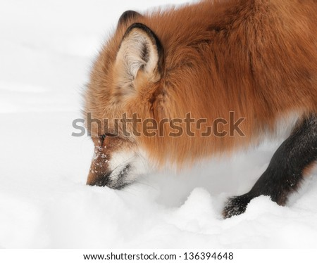 Red Fox (Vulpes vulpes) Sniffs at Snow - captive animal