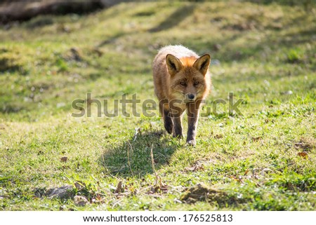 Red fox, Vulpes vulpes standing and looking towards the camera