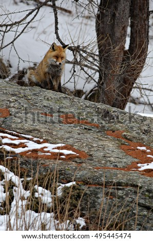 Red fox (Vulpes vulpes) standing on a rock next to a tree with snow background. Gran Paradiso, Valle d'Aosta, Italy.