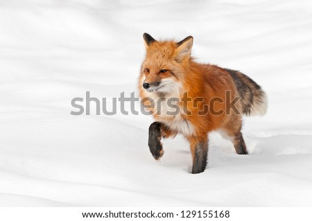 Red Fox (Vulpes vulpes) Stands in Fresh Snow - captive animal - stock photo