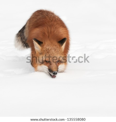 Red Fox (Vulpes vulpes) Trots Forward with Copy Space - captive animal
