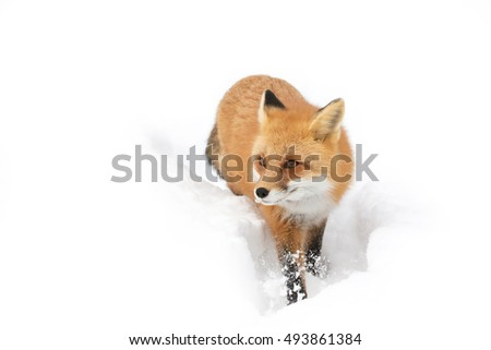 Red fox (Vulpes vulpes) walking through the snow in winter in Algonquin Park