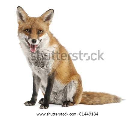 Red Fox, Vulpes vulpes, 4 years old, in front of white background - stock photo