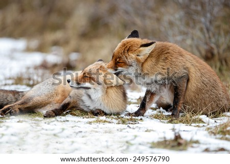 Red foxes cuddling in the snow - stock photo