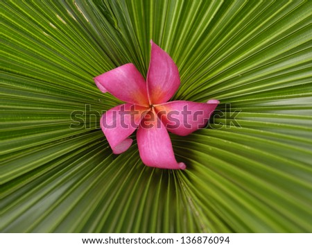 Red frangipani flowers and palm leaf texture - stock photo