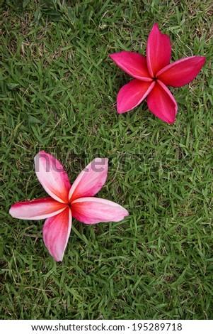 red frangipani on grass - stock photo