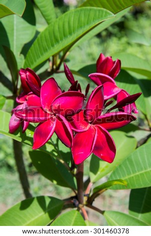Red frangipani with leaves. - stock photo