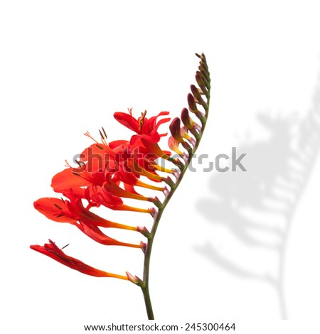 Red Freesia flower in bloom isolated on white. Garden plant close-up  - stock photo
