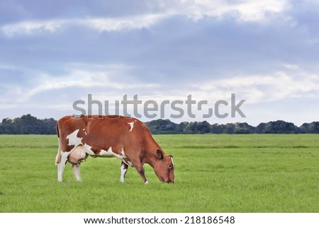 Red Frisian-Holstein cow grazing in a green meadow at twilight. - stock photo