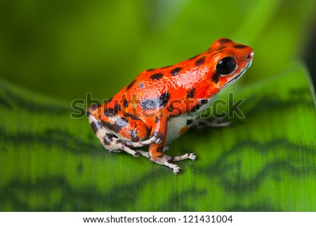 red frog on leaf in Panama rain forest Bocas del Toro, poison dart frog oophaga pumilio exotic tropical amphibian and poisonous animal with warning colors - stock photo