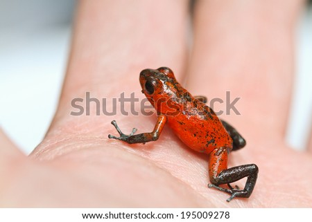 red frog or strawberry poison dart frog of Panama and Costa Rica on hand - stock photo