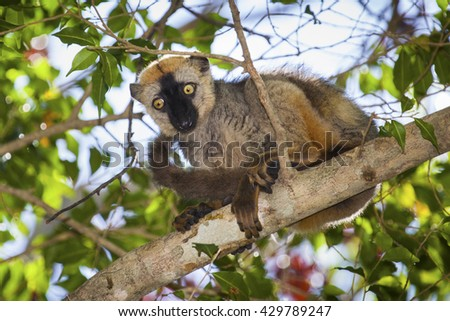 Red-fronted brown lemur (Eulemur rufifrons), Madagascar, Africa