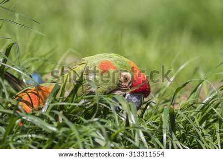 red fronted macaw on the ground close-up - stock photo