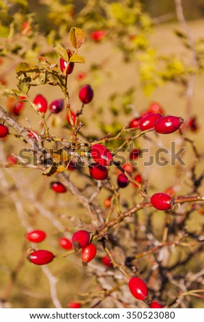 Red Fruit of Dog Rose  - stock photo