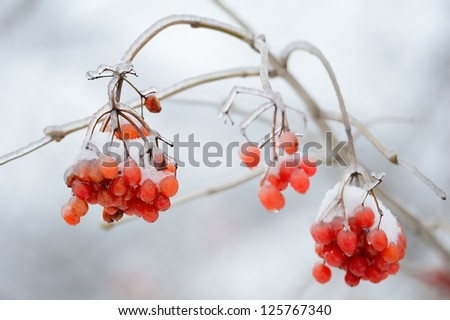 Red fruits of mountain ash under snow - stock photo