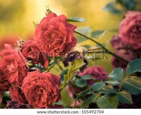 red garden roses at summer sunset