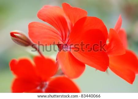 Red geranium flower - stock photo
