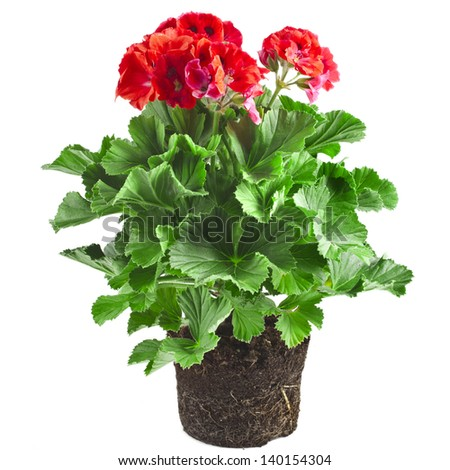 Red geranium flower in soil box close up isolated on white background - stock photo