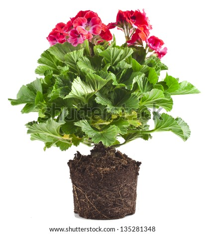 Red geranium flower in soil pot isolated on white background - stock photo