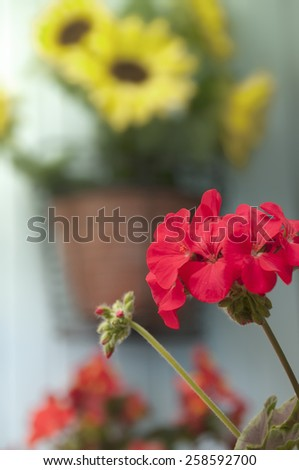 Red Geranium in focus with yellow sunflower in background. Shallow depth of field on the Sunflower. - stock photo