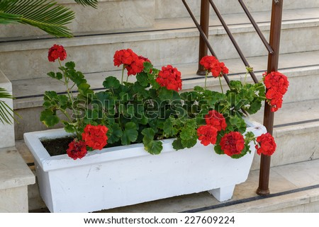Red Geraniums in pots in the garden - stock photo