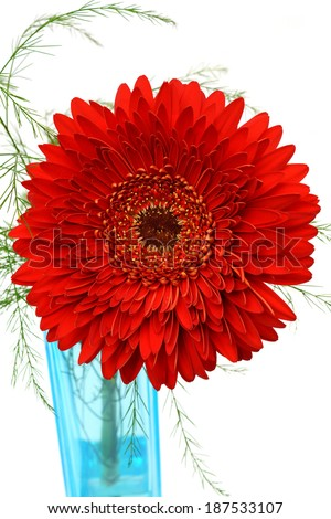 red Gerber Flower in a vase isolated