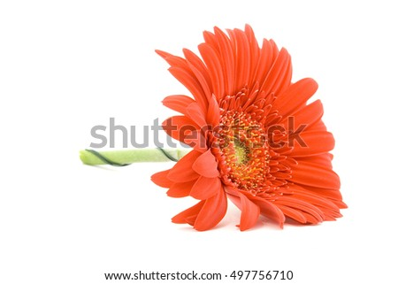 red gerber flower studio isolated