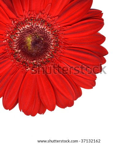 Red gerber with white background