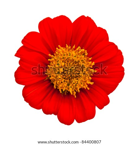 Red gerbera daisy isolated on a white background - stock photo