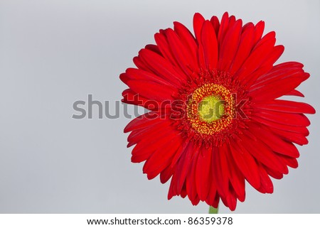 red gerbera daisy on a white background