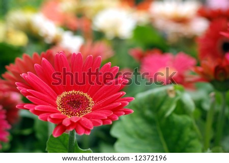 Red Gerbera daisy with shallow depth of field