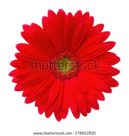 Red gerbera. Deep focus. No dust. No pollen.  - stock photo
